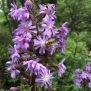 Lactuca alpina 5