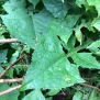 Lactuca alpina 7