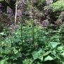 Lactuca alpina 9