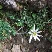 Leontopodium alpinum FLOR DE NEU1