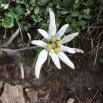 Leontopodium alpinum FLOR DE NEU3