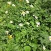 Leucanthemum sp MARGALIDA1