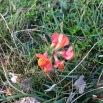 Lotus corniculatus CORONA DE REI
