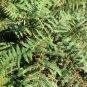 Pteridium aquilinum FALGUERA
