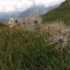 Pulsatilla alpina HERBA DEL VENT1