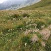 Pulsatilla alpina HERBA DEL VENT2