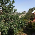 Quercus robur ROURE PÈNOL 1