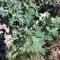 Quercus robur ROURE PÈNOL 2