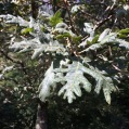 Quercus robur ROURE PÈNOL