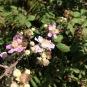 Rubus ulmifolius ROMAGUER 1