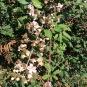 Rubus ulmifolius ROMAGUER 2
