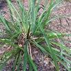 Carex pendula CÀREX PÈNOL 1