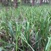 Carex pendula CÀREX PÈNOL 2