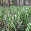 Carex pendula CÀREX PÈNOL 3