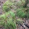 Carex remota CÀREX REMOT 1