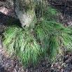 Carex remota CÀREX REMOT 2