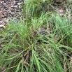 Carex remota CÀREX REMOT 3