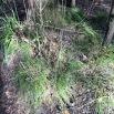 Carex remota CÀREX REMOT 4
