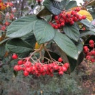 Cotoneaster lacteus COTONEASTER (jardineria), no autòcton 1