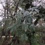 Fraxinus angustifolia 2