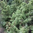 Juniperus comunis GINEBRE 1