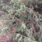 Juniperus oxicedrus CÀDEC 1