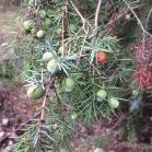 Juniperus oxicedrus CÀDEC 2
