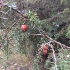 Juniperus oxicedrus CÀDEC 3