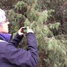 Juniperus oxicedrus CÀDEC 4