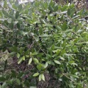 Phillyrea latifolia FALS ALADERN 1