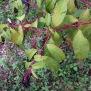 Phytolacca americana FITOLACA 1