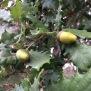 Quercus humilis ROURE MARTINENC 1