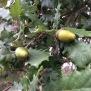Quercus humilis ROURE MARTINENC 2