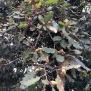 Quercus humilis ROURE MARTINENC 3