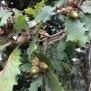 Quercus humilis ROURE MARTINENC 4