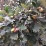 Quercus humilis ROURE MARTINENC 5