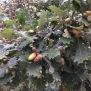 Quercus humilis ROURE MARTINENC 6