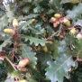 Quercus humilis ROURE MARTINENC 7
