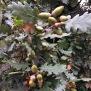Quercus humilis ROURE MARTINENC 8