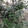 Quercus ilex ALZINA 1