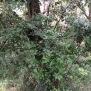 Quercus ilex ALZINA 2