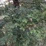 Quercus robur ROURE PÈNOL 3