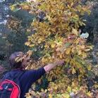 Quercus sp ROURE (tardor)