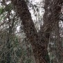 Quercus suber SURERA 1