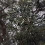Quercus suber SURERA 2