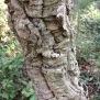 Quercus suber SURERA 4