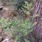 Ruscus aculeatus GALZERAN 1