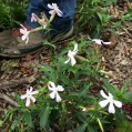 Saponaria officinalis SABONERA 3