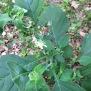 Solanum nigrum MORELLA 1