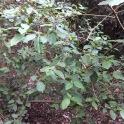 Viburnum tinus MARFULL 1